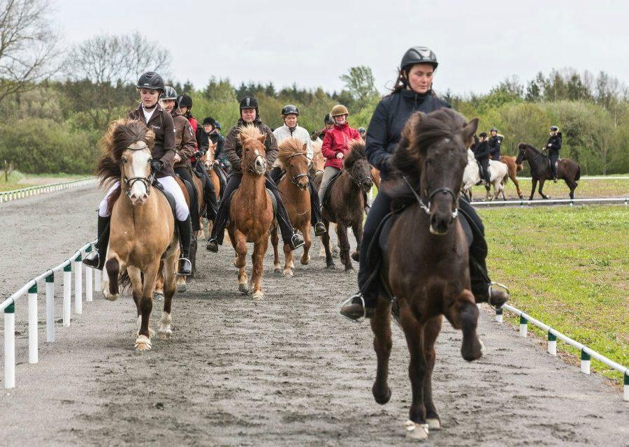 Den islandske hest 2